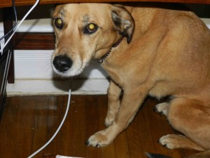 Cedar the Dog, under the tiny Small Print desk, after the dandelion incident.